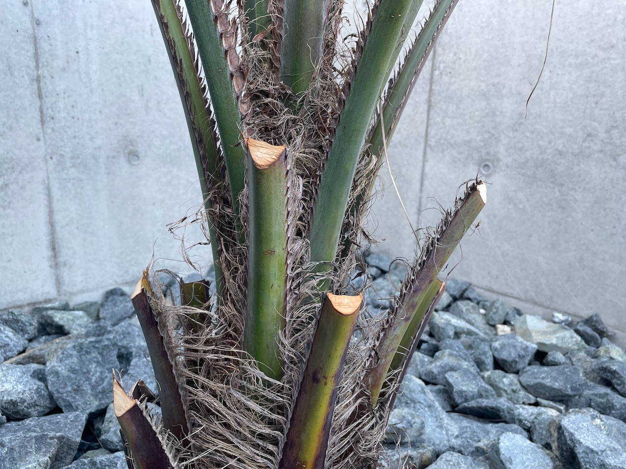 ヤシの木(ココスヤシ)をカッコよく剪定する方法