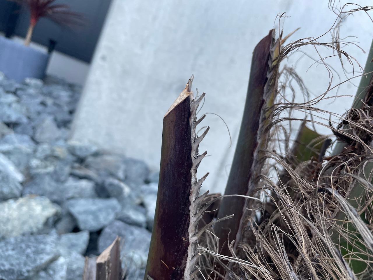 ヤシの木(ココスヤシ)は角度をつけて剪定する