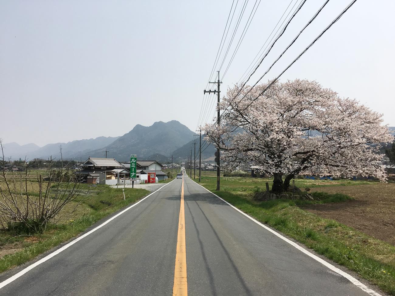 県道69号線は桜スポット