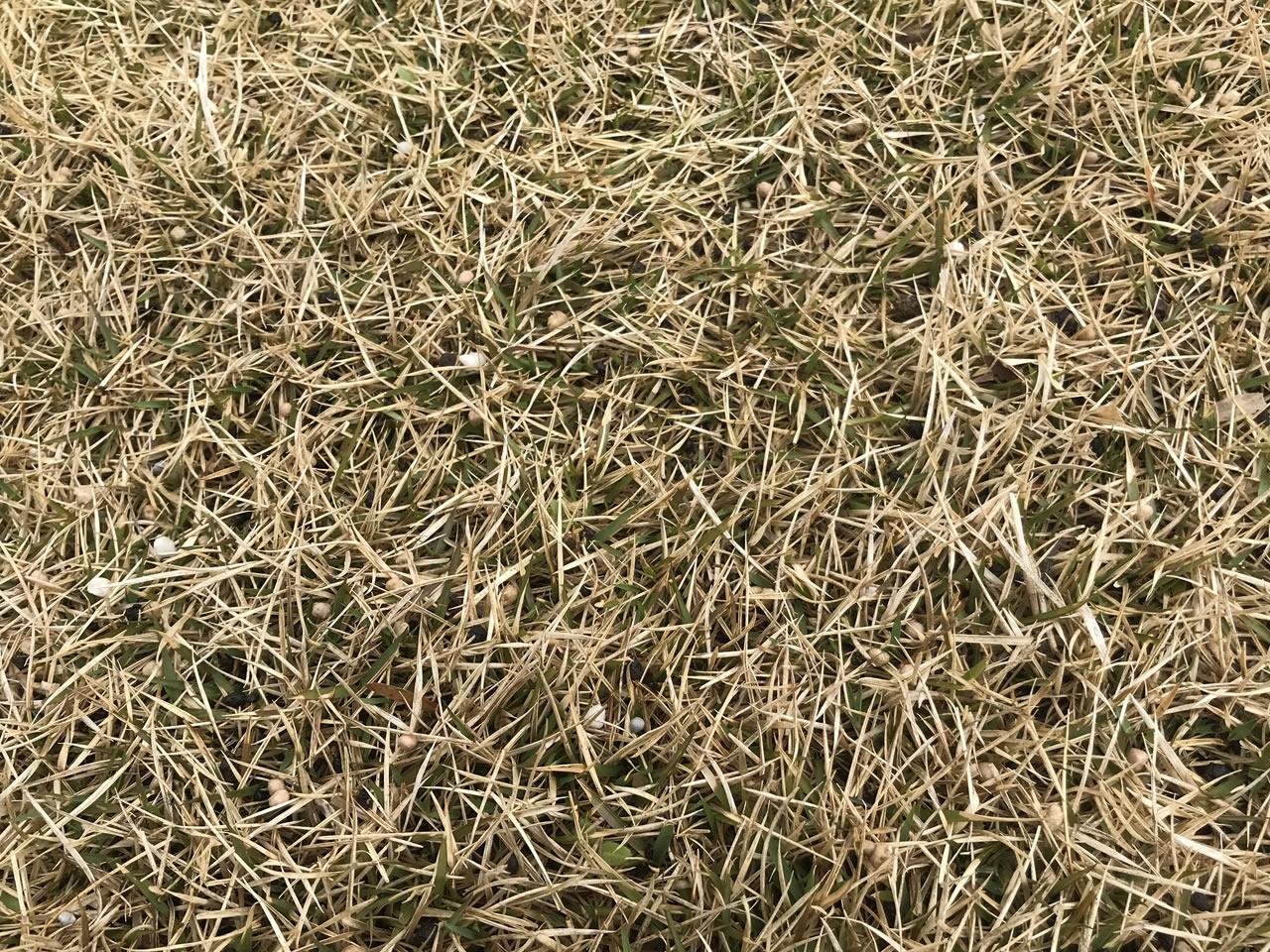 芝生のアップ・肥料散布後