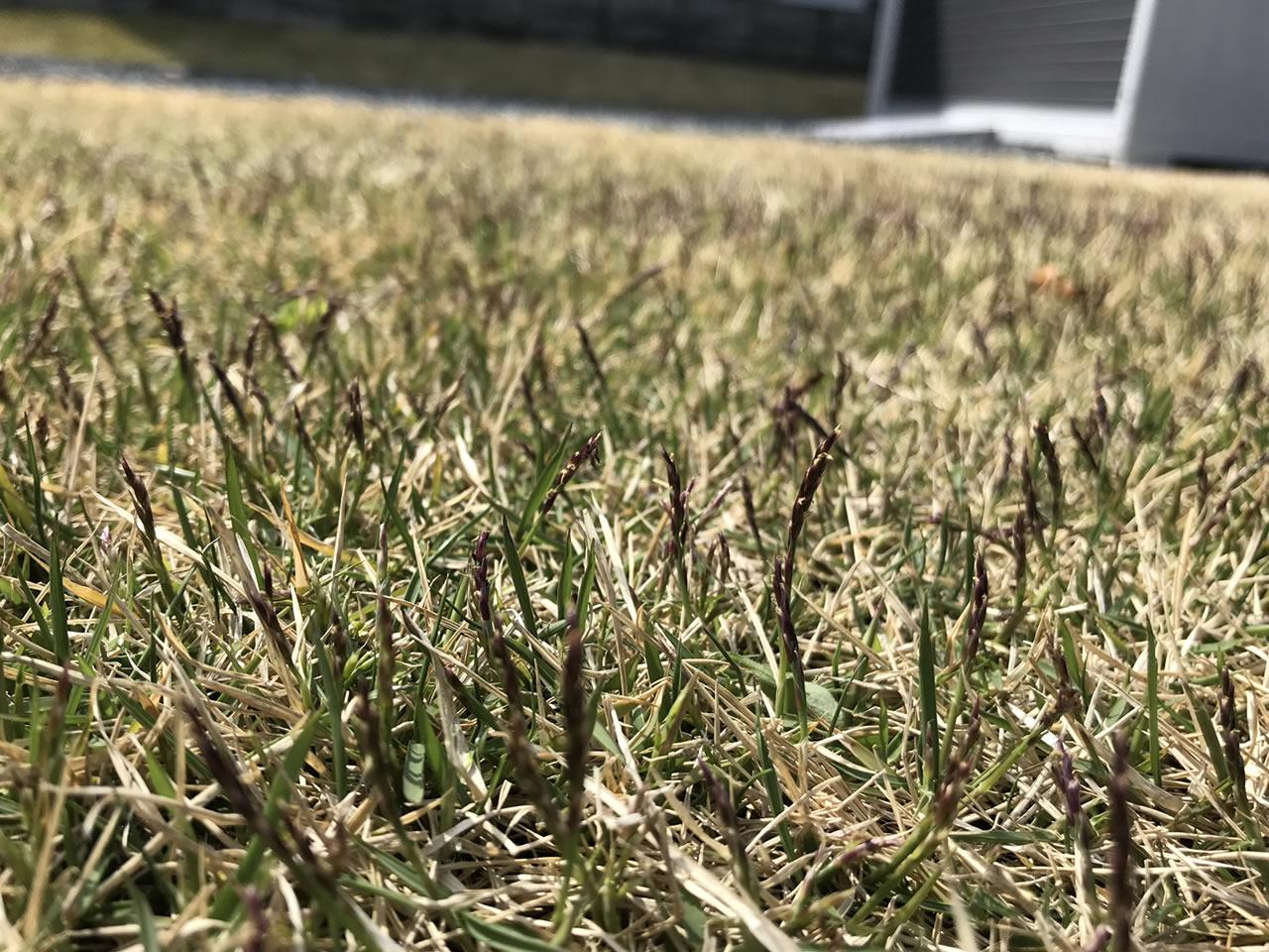 芝生の花が咲いた状態