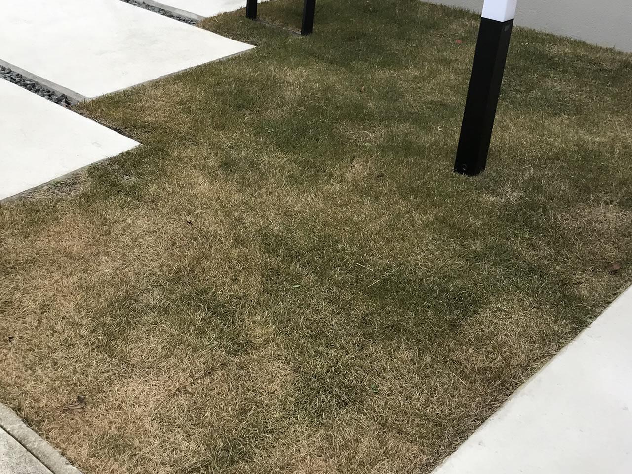 芝生を植えた当初はこんな感じで