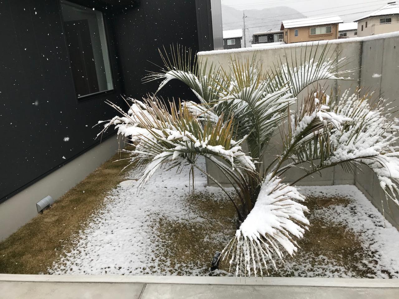 ヤシの木(ココスヤシ)の越冬