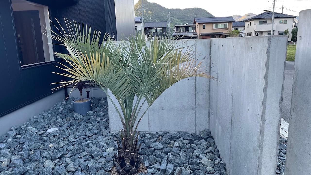 ヤシの木(ココスヤシ)の育て方!初心者でも地植え・手入れ・越冬・剪定する方法を解説
